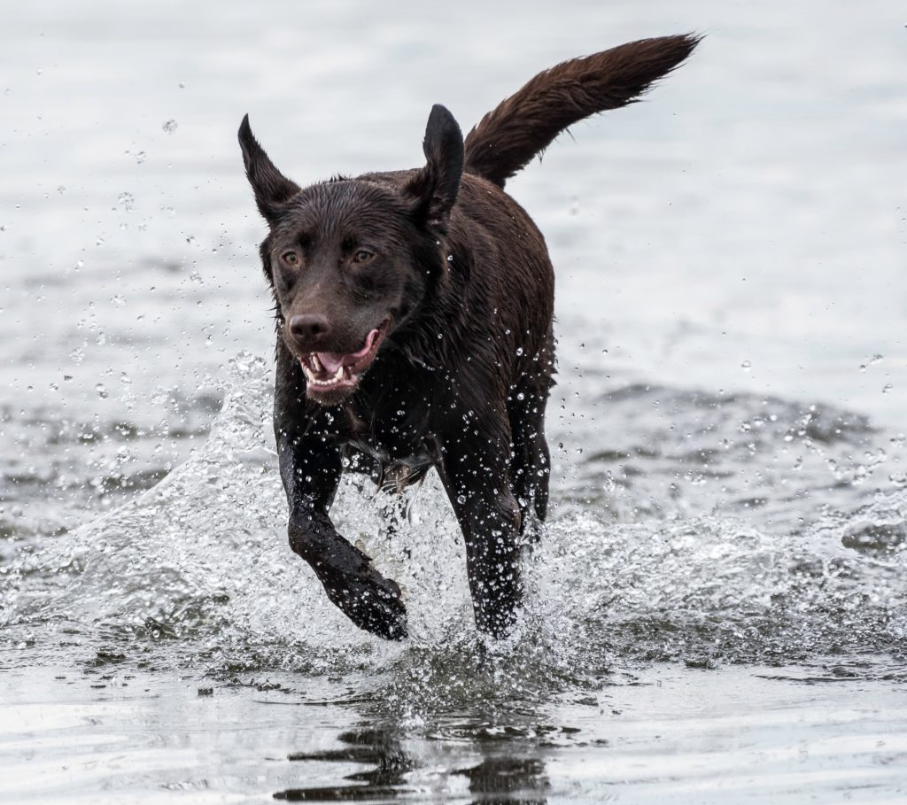 dark brown dog running through water - who would benefit from a glucosamine supplement